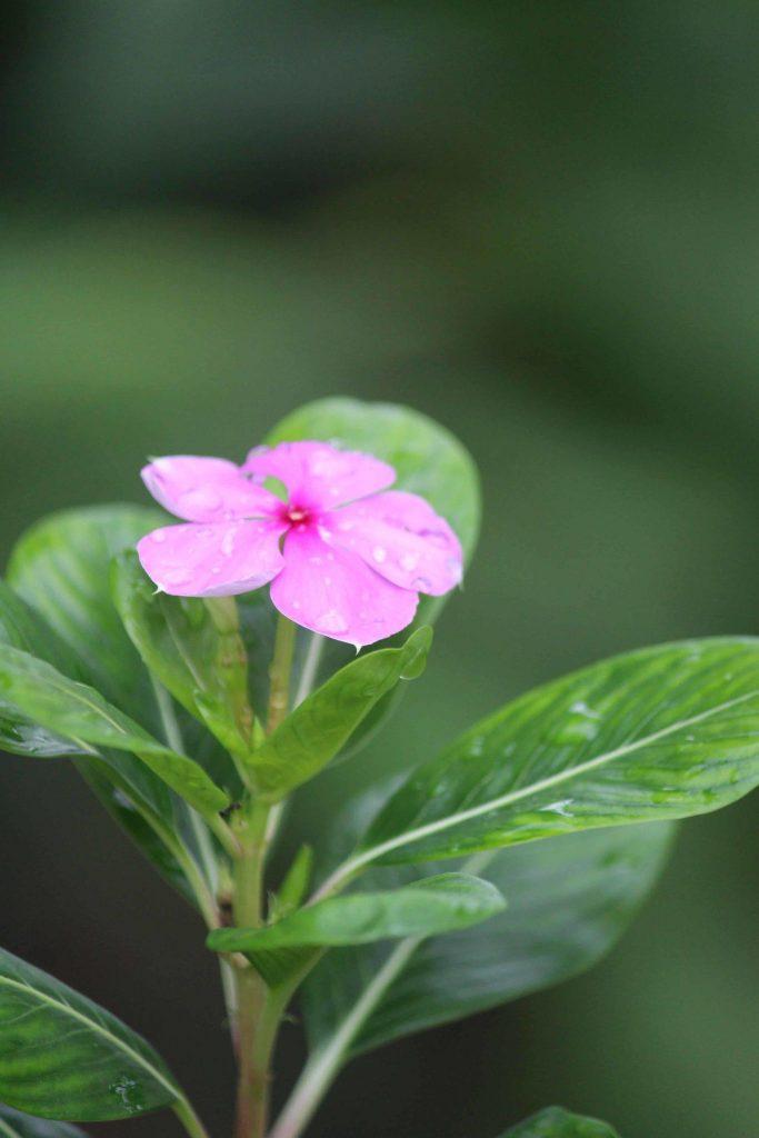 bloem met vijfhoek